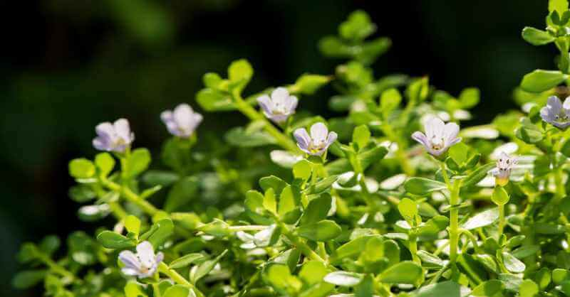 the bacopa monnieri plant - aka waterhyssop
